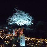 夜桜です。